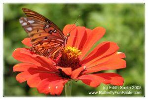 A four-legged Gulf Fritillary butterfly