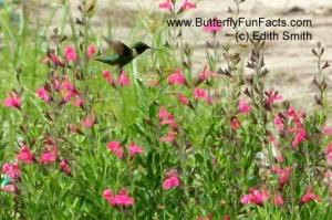 Hummingbird with salvia