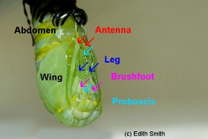 Adult Monarch butterfly body parts are already partially formed before the caterpillar pupates