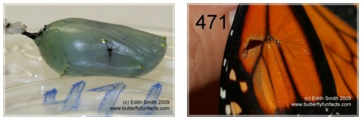 Something punctured the left side of this chrysalis, through the wing. The adult had a hole in the wing in that area.