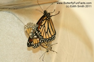 White scales replaced most black scales on the lower female Monarch
