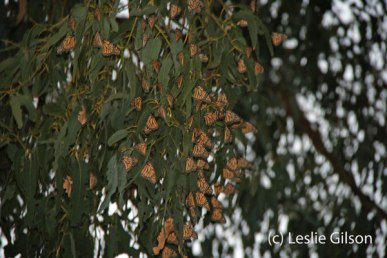 Monarchs overwintering at Norma Gibbs Butterfly Park in Huntington, CA