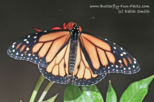 Light Monarch butterfly (Bhavna Patel)