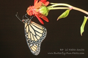 Red eyes - Light Monarch butterfly (Bhavna Patel)
