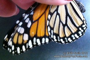 Monarch butterfly aberration - white dots blending together