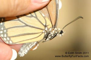 White scales replaced most black scales on this Monarch