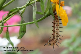 A Zebra Longwing pupates on a marigold bloom