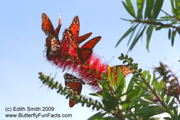 Gulf Fritillary butterflies drinking nectar from bottle brush blooms