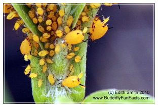 Female aphids giving live birth to young female aphids