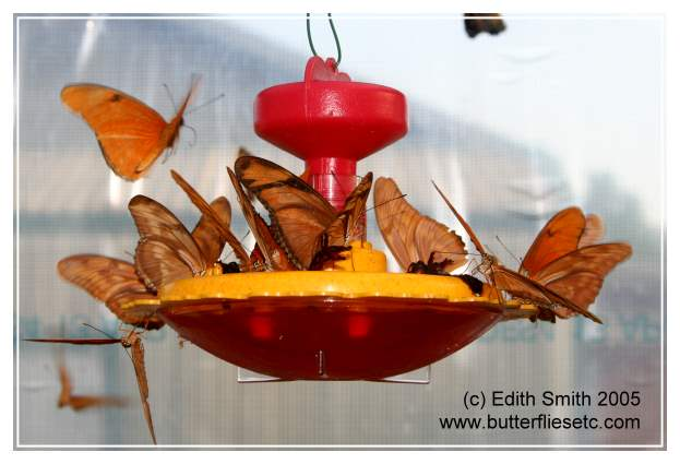 Julia butterflies drinking Gatorade from a butterfly feeder.