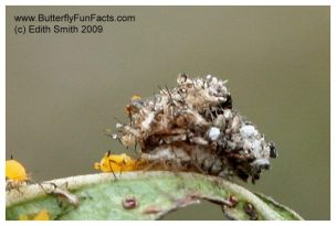 A green lacewing larva is covered in cast-off aphid exoskeletons as it eats an aphid