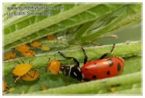 Ladybug eats an aphid