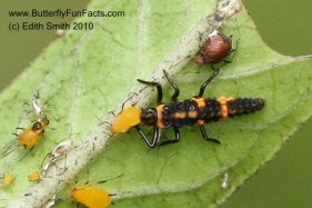 Ladybug nymph eats an aphid