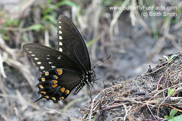 Spicebush Swallowtail male drinking nutrients from damp soil