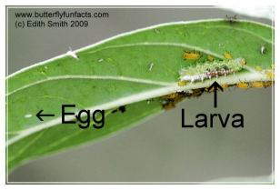 Hover fly egg and larva