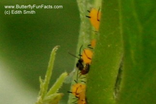 A parasitoid wasp lays its egg in an aphid
