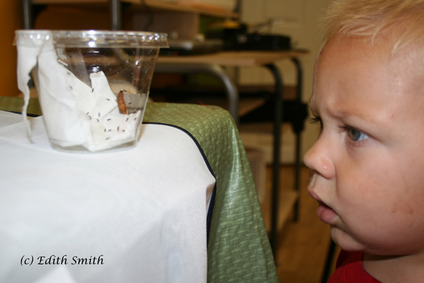 Caden can't figure out why the 'ants' (chalcid wasps) are in the cup with the pupa.