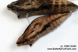 Piggyback Swallowtail chrysalises