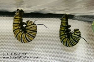 Left: will become a yellow chrysalis - Right: will become a green chrysalis