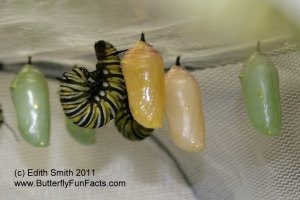 Monarch chrysalises that are the normal green along with the unusual yellow colored chrysalises.
