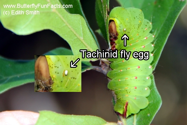 Tachinid fly egg